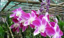Bán buôn hoa lan cắt cành Mokara, Dendro, Hồ Điệp