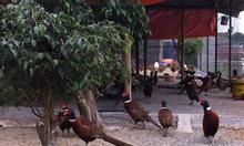 Bán chim trĩ đỏ, chim trĩ xanh, chim trĩ giống