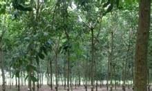 Bán vườn cao su đẹp ở Châu Thành, Tây Ninh