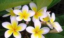 Mua bông sứ, hoa sứ khô