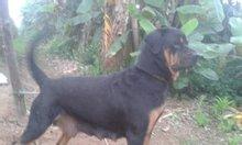 Bán chó rotweiler
