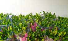 Tây Tựu - Cung cấp hoa ly, hoa Tulip Tết 2016 giá buôn