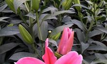 Hoa ly tươi, giá  buôn ly 30k, giá buôn tulip 20k