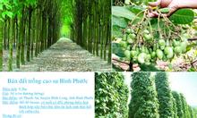 Cần bán đất trồng cây cao su Bình Phước