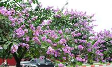 Cây Hoa Bằng Lăng