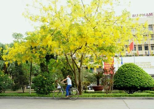 Cây muồng Hoàng Yến, Cây Osaka