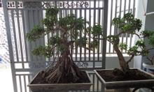 Cây Xi cảnh tại Biên Hòa Đồng Nai