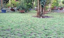 Bán cỏ lá gừng Thái