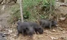 Thịt lợn mán, lợn mán giống hòa bình