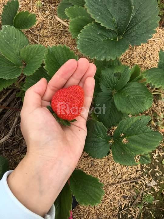 Dâu tây Đà Lạt nhà trồng