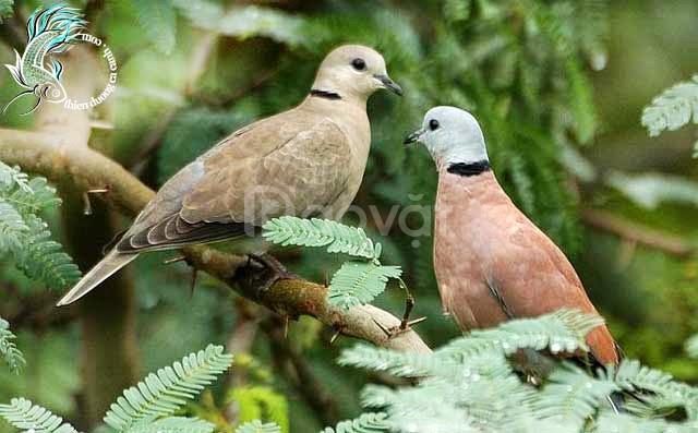 www.trangtraithuyphuong.com chuyên bán chim ngói