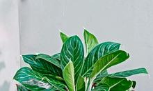 Cho thuê cây cảnh, thuê cây nội thất tại Đà nẵng