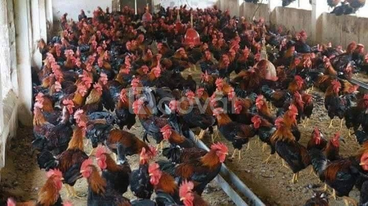 trangtraithuyphuong.com bán gà ta giống mới. đẹp