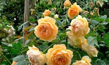 Bán hoa hồng leo, hoa hồng tree, hoa hồng bụi.