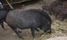 Hốt…hốt…Chuyên cung cấp lợn rừng chuẩn,