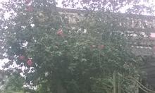 cần bán cây hoa dâm bụt hoa màu hồng cánh kép.