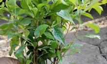 Bán cây chuỗi ngọc - Trồng cây công trình