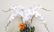 Hoa lan hồ điệp tết mang thịnh vượng