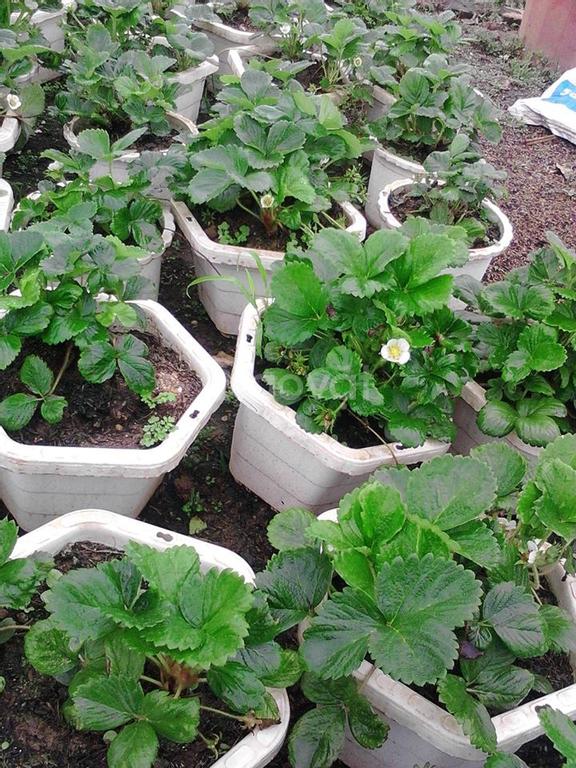 www.trangtraithuyphuong.com bán cây dâu tây
