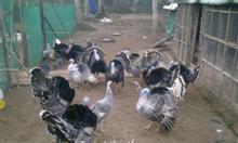 Trại Gà Tây Thanh Bình.Cung cấp gà giống,gà thịt
