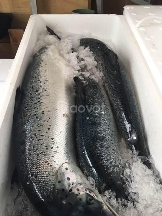 Cá Hồi Nauy nguyên con nhập khẩu 0975986390