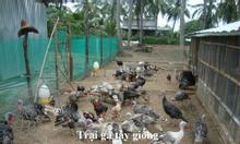 Trại Gà Tây Thanh Bình.Bán gà giống và gà thịt
