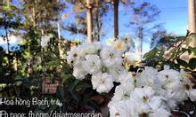 Hoa hồng leo   hoa hồng ngoại   hoa hồng khủng