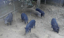 Lợn mường Hòa Bình