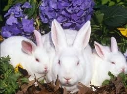 Thỏ thịt, thỏ giống tại Quảng Ninh