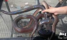 Bán rắn hổ hành thịt giá sỉ và lẻ!!!!!!