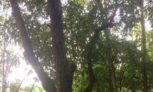 Bán cây cảnh cổ thụ cho nghệ nhân chơi cây