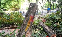 Dịch vụ cưa cây, chặt cây tránh mưa bão tại Hà Nội