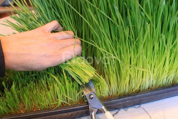 Mầm lúa mạch
