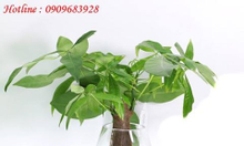 Cây thủy canh (cây trồng trong nước)