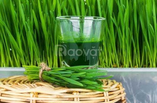 Tác dụng của cỏ lúa mì