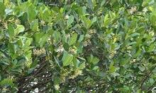 Mật ong hoa sú vẹt nguyên chất