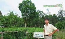 Trà uống cây thìa canh cho người bệnh tiểu đường
