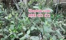 Bán cây giống sim rừng giá rẻ tại Tp.HCM