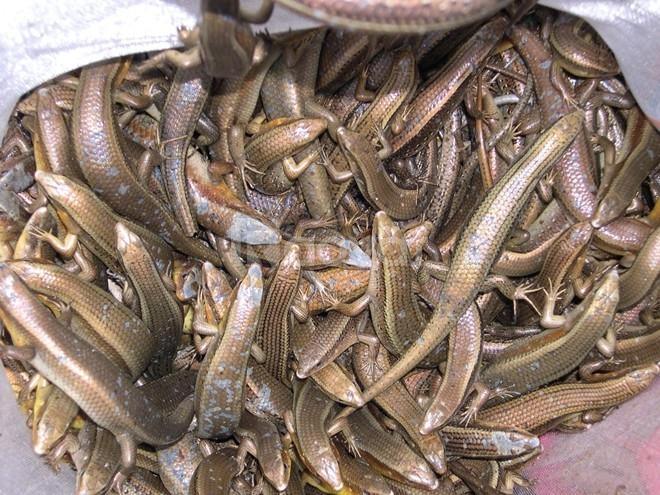 Chuyên bán rắn mối thịt, rắn mối giống tại TPHCM, giao hàng toàn quốc