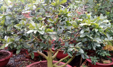 Mua bán cây kiểng giá rẻ Bình Dương, Tphcm, Đồng Nai