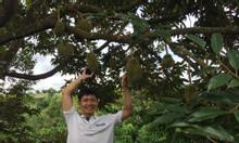 Sầu riêng chín cây, giá tại vườn