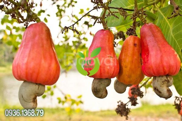 Nơi Bán Hạt Điều Rang Muối Bình Phước Tại Hà Nội Lh 0936136879