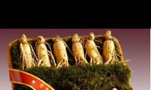 Bán sỉ hạt giống nhân sâm Hàn Quốc