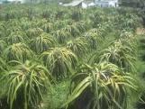 Cần bán đất trồng Thanh Long, hoa màu, nhà mặt tiền QL 28 - Bình Thuận