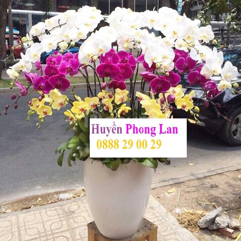 Hoa lan chưng tết sang trọng