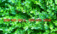 Cỏ nhựa tai chuột giá rẻ tại Hà Nội