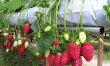 Mô hình trồng dâu tây áp dụng tưới nhỏ giọt