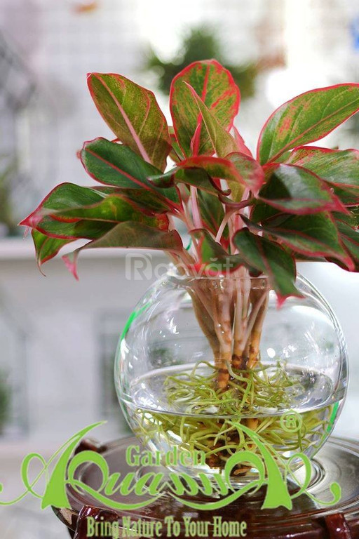 Cây thủy canh cây trồng trong nước