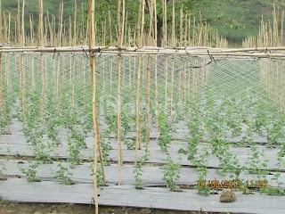 Lưới làm giàn mướp,lưới làm giàn bí, lưới làm giàn cây leo (ảnh 4)