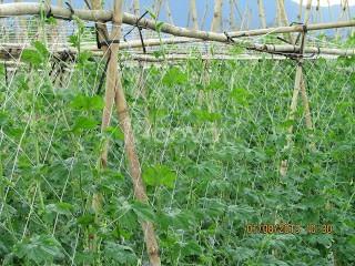 Lưới làm giàn mướp,lưới làm giàn bí, lưới làm giàn cây leo (ảnh 5)